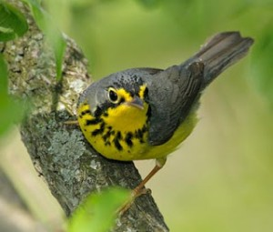 Image of a yellow and grey bird