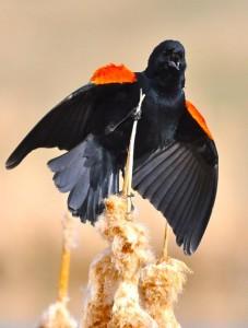 Red-winged Blackbird_Steve Kulak
