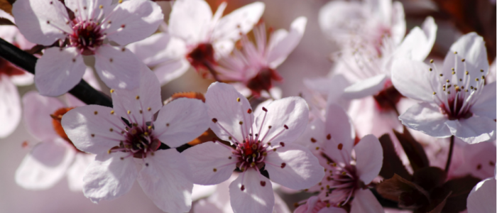 Image of blossoms