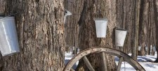 Connect with Nature: Where Does Maple Syrup Come From?