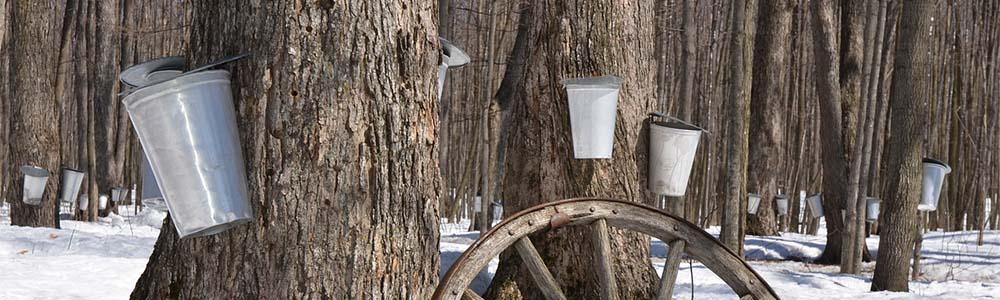 Image of collecting maple syrup