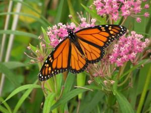 iStock_monarch2