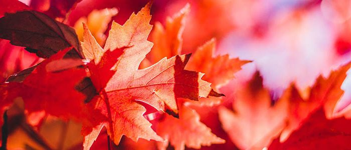 Image of red maple leaves