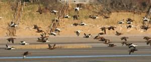 Murray's flock of eiders