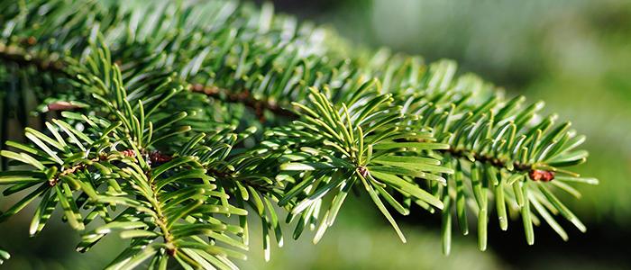 Image of conifer needles