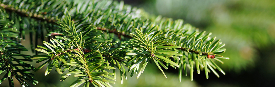 Image of conifer needles