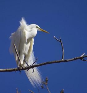 Amelia Gaulin Great Egret