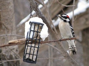 Image of a Downy Woodpecker