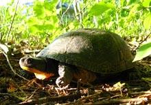 Blanding's Turtle_Beatrice Laporte