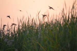barn swallows - charlie mcpherson_2MB