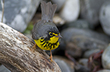 Image of the Canada Warbler