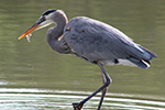 Image of a Great Blue Heron
