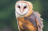 Image of a Barn Owl