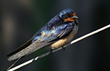 Image of a Barn Swallow by Allan Woodhouse