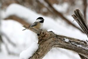 rp_Chickadee-on-branch-in-snow-shutterstock_1037168-300x200.jpg