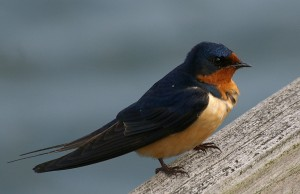 Barn swallow_Jane Kirkland