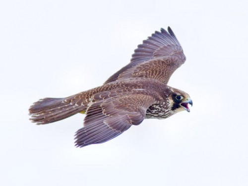 Peregrine falcon female by Larry Kirtley