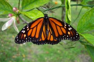 iStock_monarch