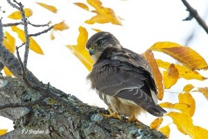 bird fair merlin by SJ Stephen