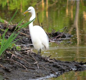 3- Great Egret