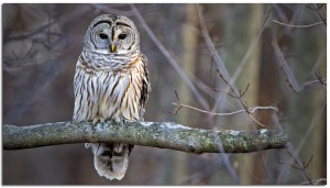 Barred Owl  Photographer: Phil Brown