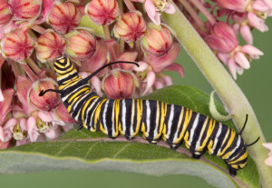 Monarch caterpillar Photo Credit: Shutterstock