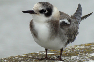 Black Tern Photo by Maggie Smith