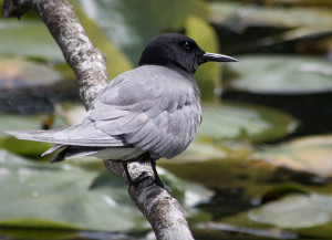 Black Tern Photo by Ingrid Taylar