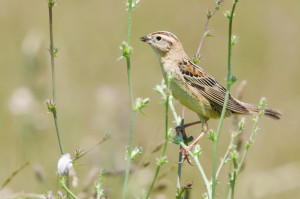 Female Bobolink photo by Kelly Colgan Azar