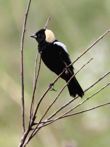 Bobolink - male breeding plumage photo by Kenneth Cole
