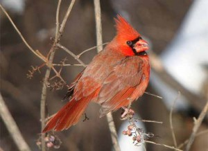 Image of a Northern Cardinal