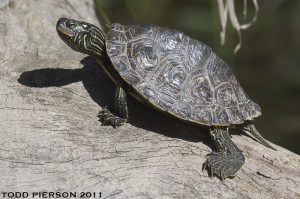 Map Turtle_Todd Pierson2