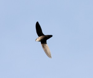 Chimney Swift in flight Dominic Sherony