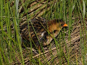Yellow Rail Photo by Dominic Sherony