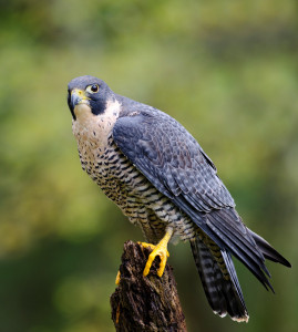 Peregrine Falcon Photo by Jen St. Louis