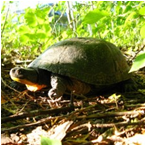 image of Blanding's Turtle