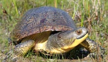 Image of a blanding turtle