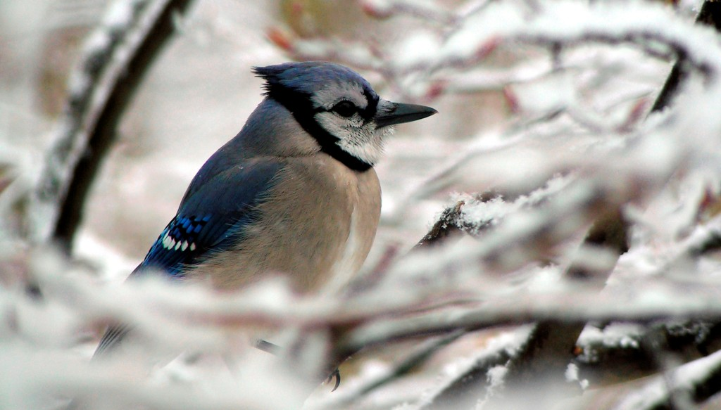 Bluejay in winter_shutterstock_LRG