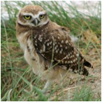 image of Burrowing Owl