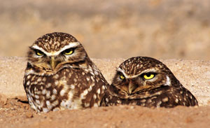 Image of a pair of burrowing owls