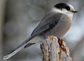 Image of a Gray Jay