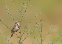 Clim_change_Savanna-sparrow