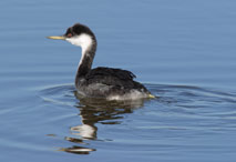 Photo of a Western Grebe