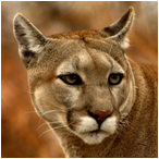 image of Eastern Cougar