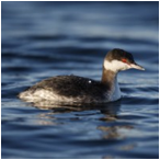 image of Horned Grebe