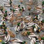 MallardDucks_Bonnie Shulman (Ducklover Bonnie on flicker)