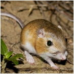 image of Ord's Kangaroo Rat