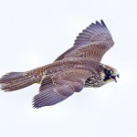 Peregrine falcon female_Larry_Kirtley