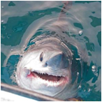 image of Porbeagle Shark