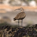 Whimbrel_shutterstock_1822370